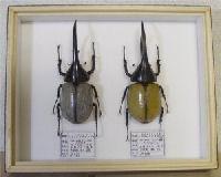 昆虫イベント 展示用平面標本