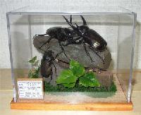 昆虫イベント 展示用立体標本