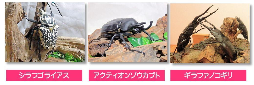 昆虫専門店 オオクワ京都昆虫館 シラフゴライアシス アクティオンゾウカブト ギラファノコギリクワガタ