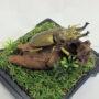 オウゴンオニクワガタ(レプリカ標本)