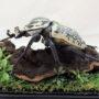 シラフゴライアス♂93(レプリカ標本)