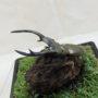 エラフスホソアカ♂82(レプリカ標本)