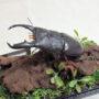 パラワンオオ ヒラタ♂88(ジオラマ標本)