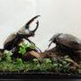 グラントシロカブト♂69+♀51(ジオラマ標本)