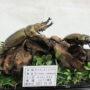 オウゴンオニ♂68+♀50(ジオラマ標本)