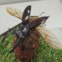 マンディブラリスフタマタ♂62(飛翔標本)