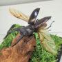 マンディブラリスフタマタ♂67(飛翔標本)