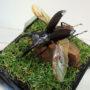 マンディブラリスフタマタ♂70(飛翔標本)
